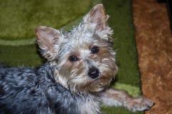 与推出的耳朵和卷发的逗人喜爱的狗面孔 免版税库存图片