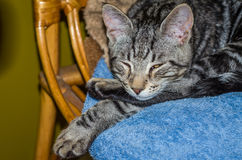 与眼睛的迷人的灰色蓬松猫关闭了,睡觉在椅子 免版税库存图片