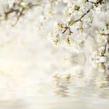 Цветки весны сливы Стоковое фото RF