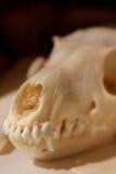 在一块似犬头骨的特写镜头 库存照片