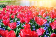 Ландшафт весны с красивыми красными тюльпанами Стоковое Фото