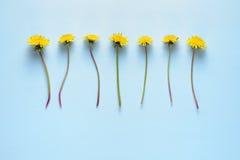 Цветки одуванчика на голубой предпосылке Стоковое Изображение RF
