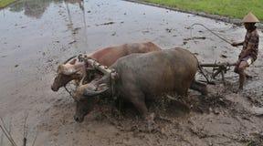 犁领域的农夫使用传统工具 免版税库存图片