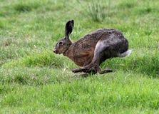 快速的连续布朗野兔 免版税图库摄影