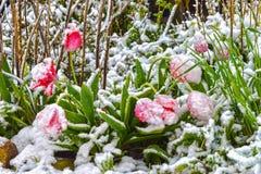 Τουλίπες, χιονισμένες Στοκ φωτογραφίες με δικαίωμα ελεύθερης χρήσης