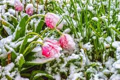 Τουλίπες, χιονισμένες Στοκ φωτογραφία με δικαίωμα ελεύθερης χρήσης