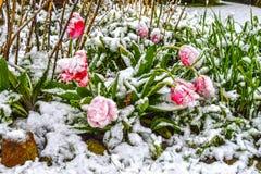 Τουλίπες, χιονισμένες Στοκ εικόνες με δικαίωμα ελεύθερης χρήσης