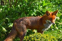 Κόκκινη αλεπού, άγρια Στοκ Φωτογραφία
