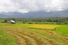 пади поля тайский Стоковые Изображения RF