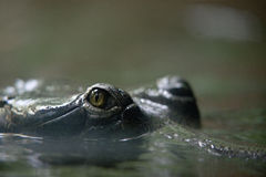 鳄鱼的眼睛在布拉格动物园里 库存照片