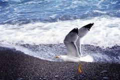 关闭观点的在海滩的海鸥反对自然蓝色和浪端的白色泡沫背景 海鸟飞行 免版税库存图片
