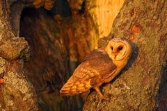 谷仓猫头鹰坐树干与好的光在巢孔附近,鸟的晚上在自然栖所,掩藏在树, 免版税库存图片