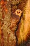 谷仓猫头鹰坐树干与好的光在巢孔附近,鸟的晚上在自然栖所,掩藏在树, 免版税库存照片