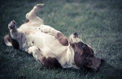 贝塞猎狗 库存图片