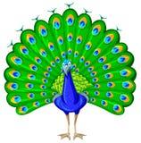 与五颜六色的羽毛的孔雀 免版税库存照片