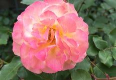 美好的粉红色上升了 爱柔软概念 免版税库存照片