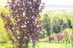 关闭在树庭院,日落的开花 库存照片