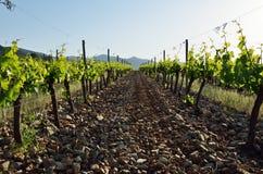 Плантация виноградного вина Стоковые Изображения RF
