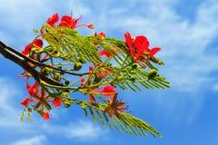 Κόκκινα λουλούδια Πουέρτο Ρίκο Στοκ εικόνα με δικαίωμα ελεύθερης χρήσης