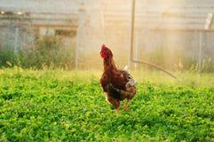 自由放养的小鸡 免版税图库摄影