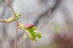 发芽的椴树分支 宏观看法芽,与新鲜的绿色叶子的胚胎射击 软抽象的背景 春天…上升了叶子,自然本底 免版税库存图片