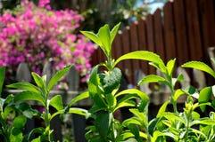 家庭菜园的甜叶菊植物在篱芭附近 库存图片