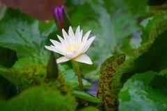 与水下落的美丽的白莲教花 库存图片