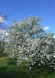 вал ветви яблока зацветая Стоковые Фото