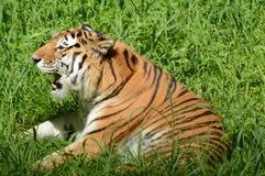 发声的东北虎在草甸 免版税库存照片