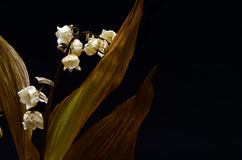 Ξηρός και παλαιός κρίνος του λουλουδιού κοιλάδων Στοκ εικόνα με δικαίωμα ελεύθερης χρήσης