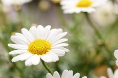 Άσπρα λουλούδια μαργαριτών για το υπόβαθρο Στοκ Φωτογραφία