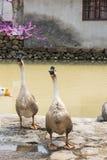 鹅 免版税图库摄影