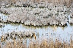 在沼泽的芦苇 免版税库存照片