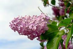 紫罗兰色淡紫色花有蓝天背景  免版税库存图片