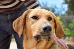 Το σκυλί ένας σύντροφος πιστός Στοκ Εικόνα