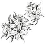 Флористические зацветая лилии установили нарисованный рукой эскиз иллюстрации вектора Стоковое Изображение