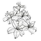 Флористические зацветая лилии вручают вычерченный эскиз иллюстрации вектора Стоковое Фото