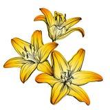 Флористические зацветая лилии вручают вычерченный эскиз иллюстрации вектора Стоковые Изображения RF