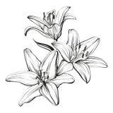 Флористические зацветая лилии вручают вычерченный эскиз иллюстрации вектора Стоковые Изображения
