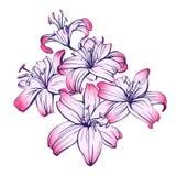 Флористические зацветая лилии вручают вычерченный эскиз иллюстрации вектора Стоковое Изображение