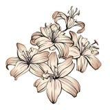 Флористические зацветая лилии вручают вычерченный эскиз иллюстрации вектора Стоковое Изображение RF