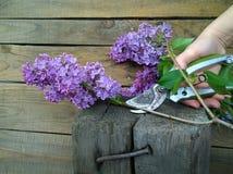 淡紫色庭院分支和一把刀子在他的在木背景的手上 库存照片