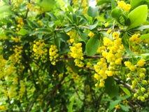 黄色开花的灌木 库存图片