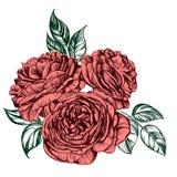 Флористический зацветая розовый эскиз иллюстрации вектора ветви Стоковая Фотография RF