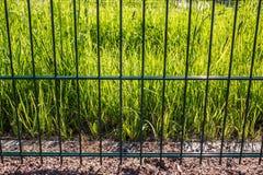 Οι πράσινες φρέσκες φωτισμένες ακτίνες ήλιων χλόης είναι πίσω από το φράκτη μετάλλων Στοκ φωτογραφία με δικαίωμα ελεύθερης χρήσης
