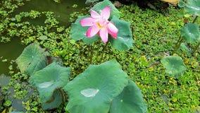 Розовый лотос и пруд несовершеннолетнего ряски Стоковые Фотографии RF