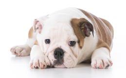 Английский щенок бульдога Стоковые Изображения RF