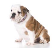 Прелестный щенок бульдога Стоковые Фотографии RF