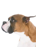 выражение собаки унылое Стоковое Фото