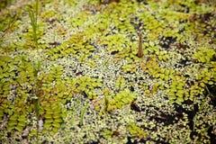 沼泽表面上的绿色浮动青苔样式 浮动蕨在池塘背景中 免版税图库摄影